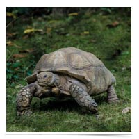 Tortoise on the move.